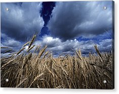 Golden Heads Of Wheat In A Field Acrylic Print by Annie Griffiths