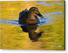 Golden Hen Acrylic Print by Mike  Dawson
