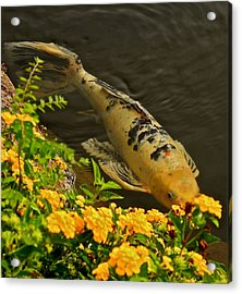Acrylic Print featuring the photograph Golden Koi by Kirsten Giving