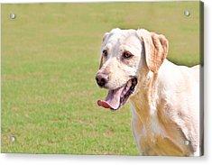 Golden Labrador Acrylic Print by Tom Gowanlock