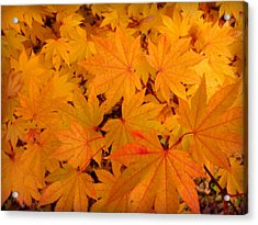 Golden Leaves Of Maple Acrylic Print by Cindy Wright
