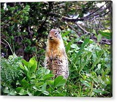 Golden Mantled Ground Squirrel  - Standing Acrylic Print by Mark Caldwell