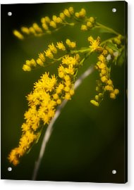 Golden Number Four Acrylic Print by Michael Putnam