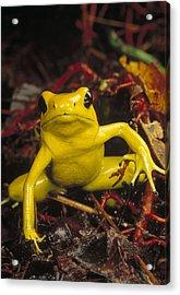 Golden Poison Dart Frog Phyllobates Acrylic Print by Mark Moffett
