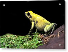 Golden Poison  Acrylic Print by JC Findley