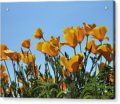 Golden Poppies Basking In The Sun Acrylic Print by Cindy Wright