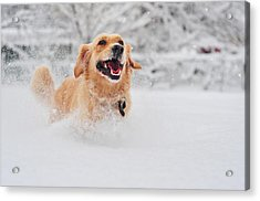 Golden Retriever Dog Running On Fresh Snow Acrylic Print by Maya Karkalicheva