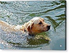 Golden Retriever Swimming Close Acrylic Print by Susan Leggett