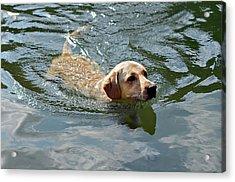 Golden Retriever Swimming Acrylic Print by Susan Leggett