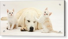 Golden Retriever With Two Kittens Acrylic Print