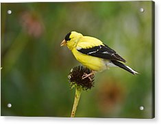 Goldfinch Acrylic Print by Alan Hutchins