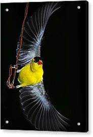 Acrylic Print featuring the photograph Goldfinch High Wire Act by Randall Branham