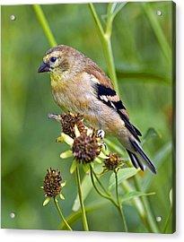 Goldfinch Juvenile Acrylic Print by Dick Jones