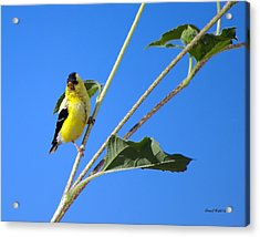 Goldfinch On Sunflowers Acrylic Print by Stephen  Johnson