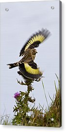Goldfinch On Thistle Acrylic Print
