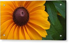 Goldilocks  Flower Acrylic Print by Chad and Stacey Hall