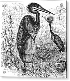 Goliath Heron Acrylic Print by Granger