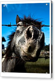 Acrylic Print featuring the photograph Golly A Curious Horse by Carole Hinding