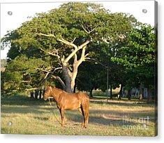 Good Horse At Dawn  Acrylic Print by Laurel Fredericks