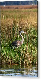 Good Morning - Blue Heron Acrylic Print by Linda Mesibov