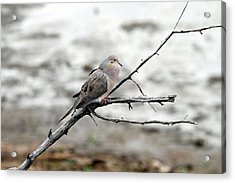 Acrylic Print featuring the photograph Good Morning Dove by Elizabeth Winter