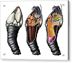 Goose Barnacle Anatomy, Artwork Acrylic Print by Jose Antonio PeÑas