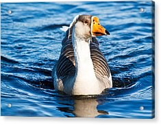 Acrylic Print featuring the photograph Goose Coming Into Shore  by Ann Murphy