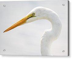 Gorgeous Great White Egret Acrylic Print by Paulette Thomas