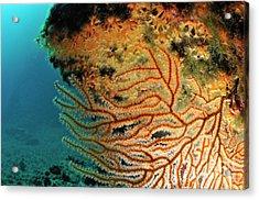 Gorgonian Fan And Ocean Floor Acrylic Print by Sami Sarkis