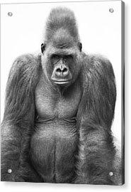 Gorilla Acrylic Print by Darren Greenwood