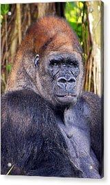 Gorilla Posing Acrylic Print by Joe Myeress