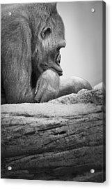 Gorilla Resting Acrylic Print by Darren Greenwood