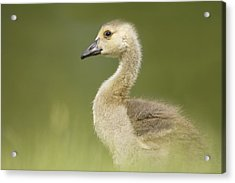 Gosling Acrylic Print by Lisa Franceski Wildlife Photography