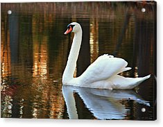 Graceful Swan Acrylic Print
