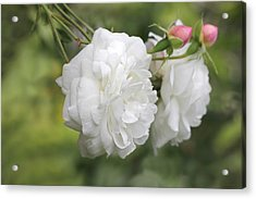 Graceful White Rose And Pink Rosebuds Acrylic Print by Jennie Marie Schell