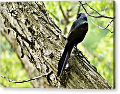 Grackle 1 Acrylic Print