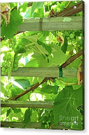 Grape Arbor Acrylic Print by Methune Hively