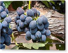 Grape Cluster Vine Acrylic Print by Dina Calvarese