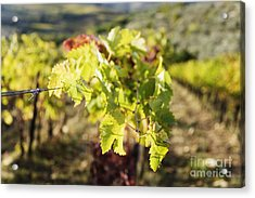 Grape Leaves Acrylic Print by Jeremy Woodhouse