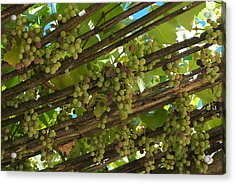 Grapes Grow On Vines Draped Acrylic Print by Heather Perry