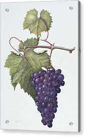 Grapes  Acrylic Print by Margaret Ann Eden