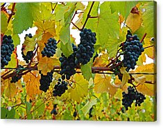 Grapes On The Vine Acrylic Print by Jani Freimann
