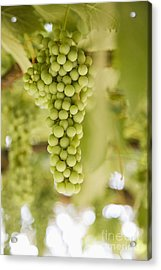 Grapes On Vine Acrylic Print by Andersen Ross