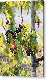 Grapes On Vine Acrylic Print by Jeremy Woodhouse