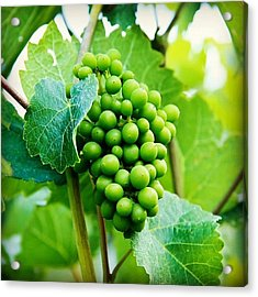 #grapes #winery #vines #instagood Acrylic Print
