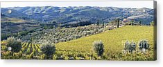 Grapevines And Olive Trees Acrylic Print by Jeremy Woodhouse