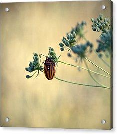 Graphosoma Lineatum Acrylic Print by Stelios Kleanthous