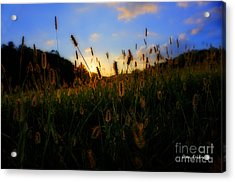 Grass In Field At Sunset Acrylic Print by Dan Friend