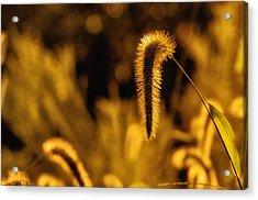 Grass In Golden Light Acrylic Print