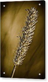 Grass Seedhead Acrylic Print by  Onyonet  Photo Studios